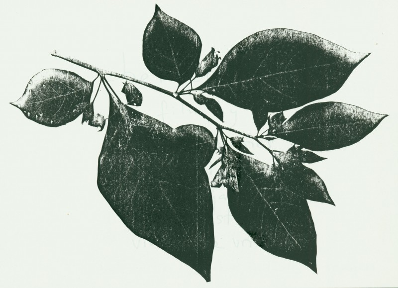 Atropa belladonna, silkscreened. Frontispiece from <i>Belladonna: A Film</i>.